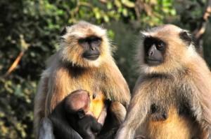 Affenpaar m. Baby_3507
